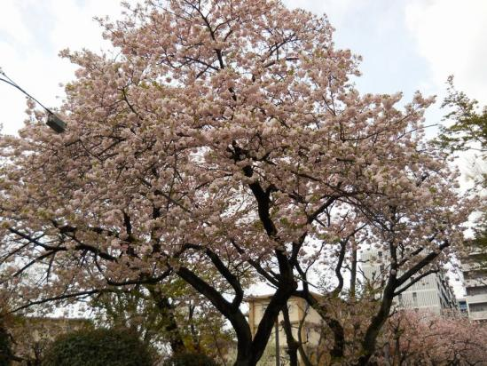 赤羽桜4-14-04