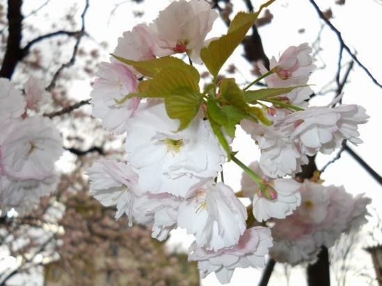 赤羽桜4-14-06