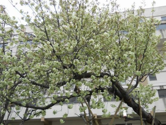 赤羽桜4-14-09