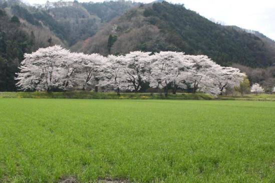 100410_桜1_かみやま