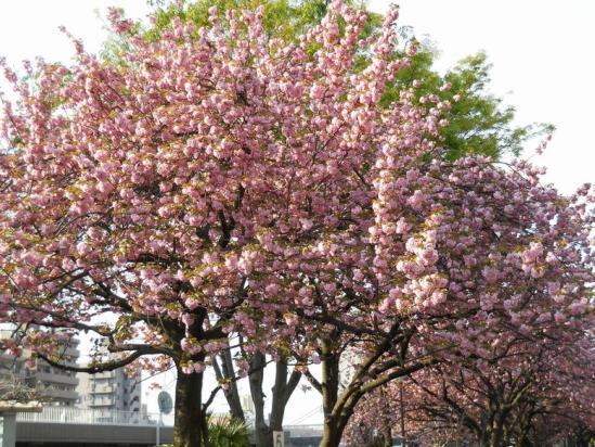 赤羽トンネル八重桜4-26-07