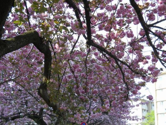 赤羽トンネル八重桜4-26-09