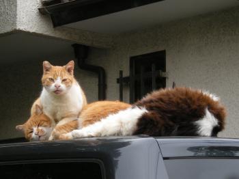 ウチの近所のチョコ 猫