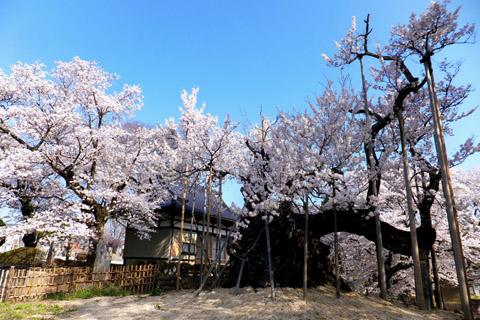 実相寺桜1