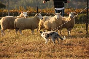 Sheepdog 087