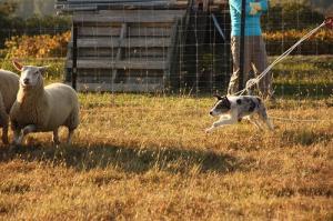 Sheepdog 088
