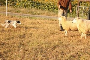 Sheepdog 106