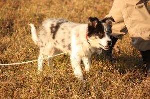 Sheepdog 111