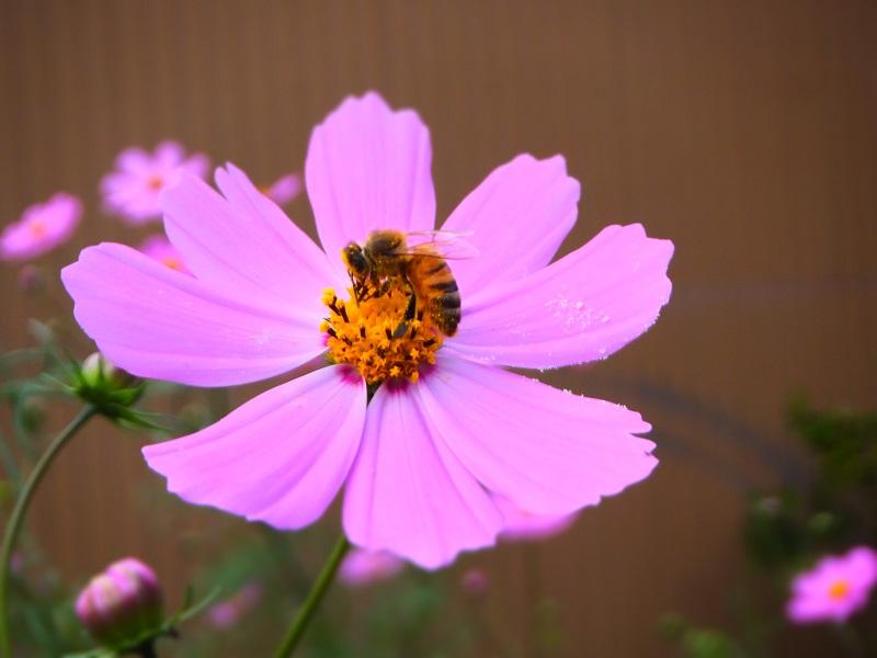 蜜蜂 コスモス