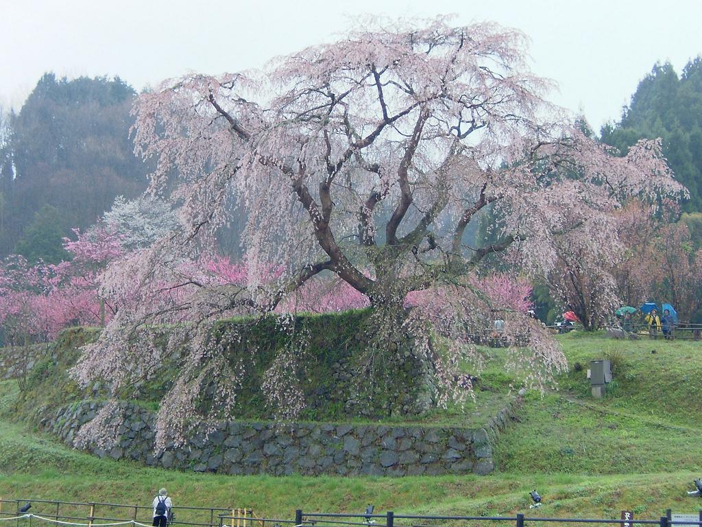 奈良の宇陀市にある又兵衛桜02