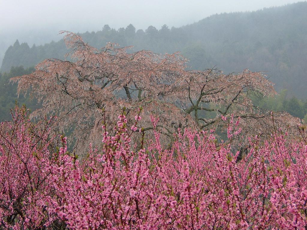 奈良の宇陀市にある又兵衛桜03