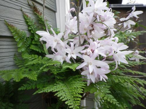 セッコクという花