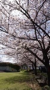 桜20130410-1