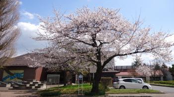 桜20130410-2