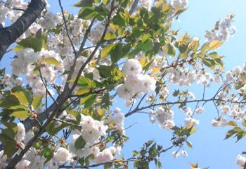 八重桜20101