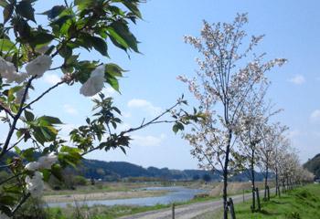 八重桜20102