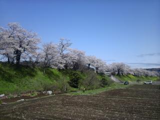 桜並木2010-1