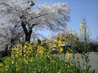 桜並木2010-2