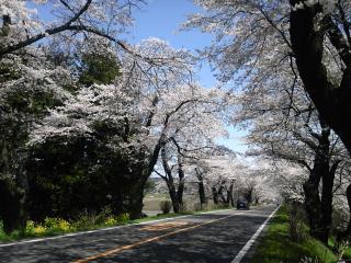 桜並木2010-3