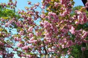 神社の八重桜が満開です