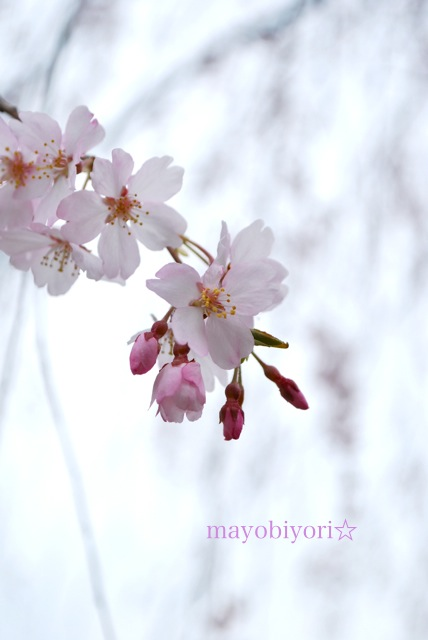 2013 桜②