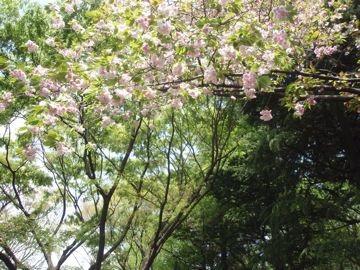 yaezakura.jpg