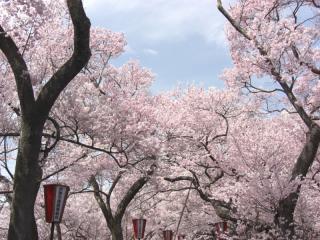 高遠の桜 その1