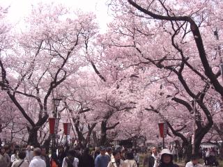 高遠の桜 その2
