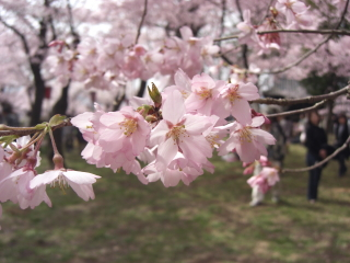 高遠の桜 その4