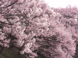 高遠の桜 その5