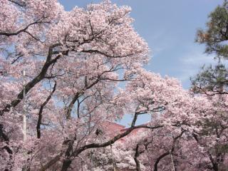 高遠の桜 その6