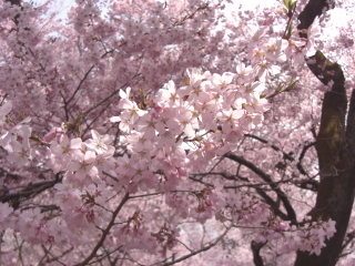 高遠の桜 その7