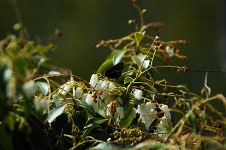 馬酔木と黒い蝶