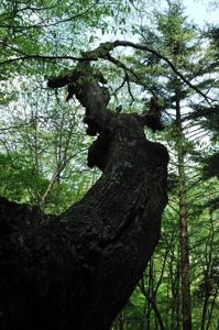 やたらと折れ曲がった枝や幹の照葉樹林帯