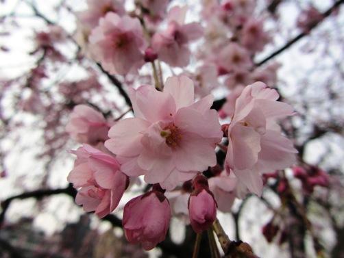 IMG_3136kamogawa201303-13.jpg