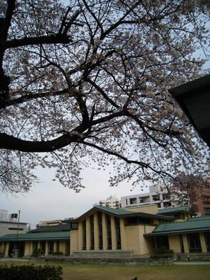 桜開花明日館2010