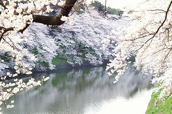 千鳥ヶ淵早朝桜2010(1)