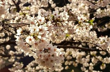 千代田区千鳥ヶ淵早朝桜2010/4/4