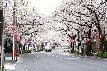 中野通りの桜2010