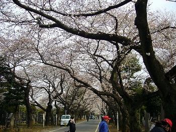 谷中霊園桜2010
