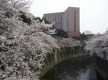 江戸川公園桜並木2010開花