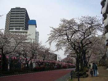 播磨坂桜2010