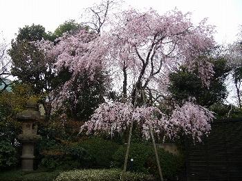 野間記念館桜2010