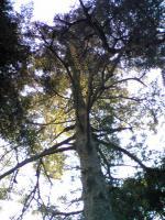 1鷲峰寺のモミの木1