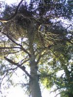 1鷲峰寺のモミの木2