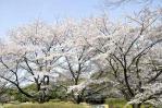 昭和記念公園_桜_02