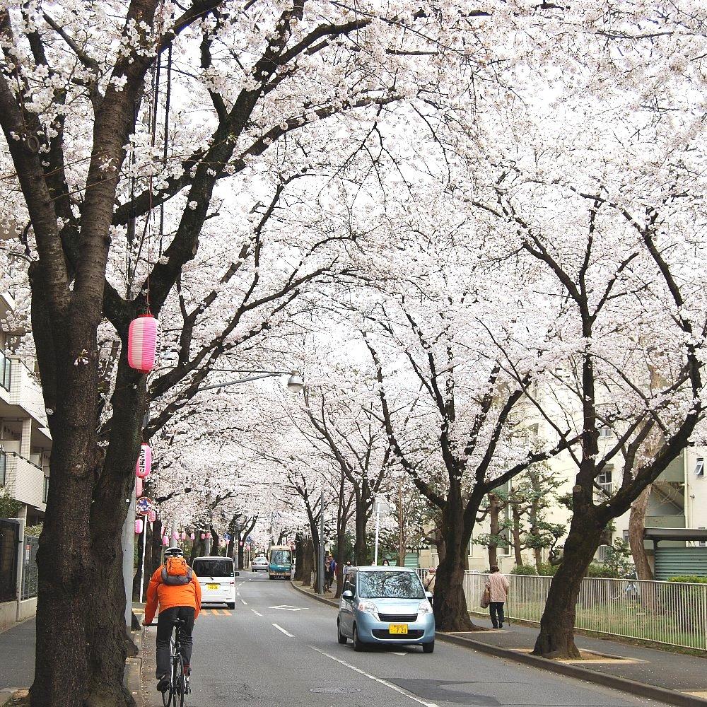 桜のトンネルが3Km近く続きます。
