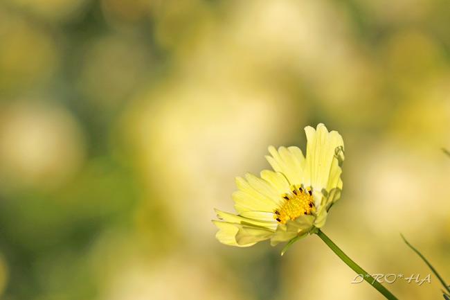 黄色コスモス22