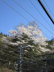 線路の上の桜