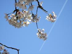 うちの公園の桜と飛行機雲
